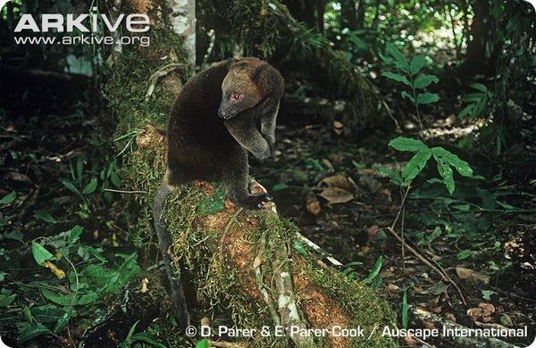 Кенгуру Дориа (лат. Dendrolagus dorianus)