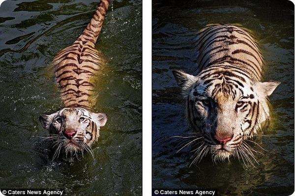 Необыкновенное купание бенгальского тигра