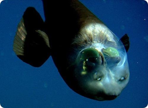 макропинна (лат. Macropinna microstoma) — Рыба с прозрачной головой