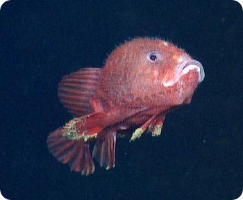 Морской черт Chaunacops coloratus