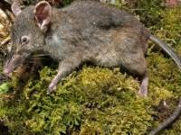 Крыса без коренных зубов