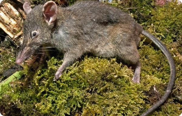 Землеройковая крыса (лат. Paucidentomys vermidax)