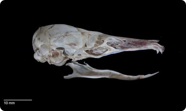 Крыса без коренных зубов (лат. Paucidentomys vermidax)