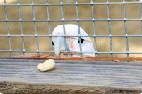 Смышлёный попугай по прозвищу Фигаро