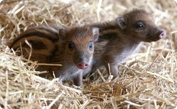 Поросята-близнецы из зоопарка Белфаста