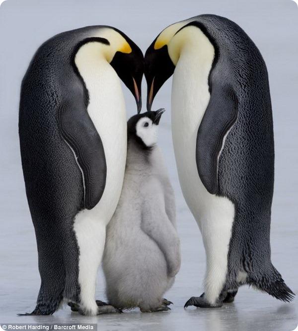 Императорские пингвины от Торстена Милса