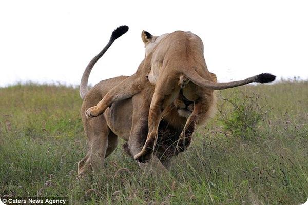 Ссора льва и львицы
