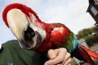87-летний попугай Пончо
