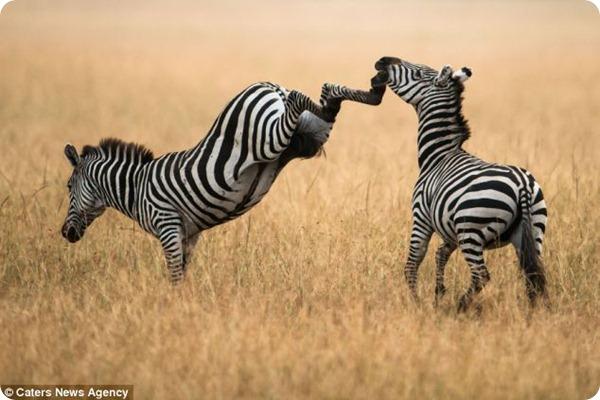 Размолвка между парочкой зебр