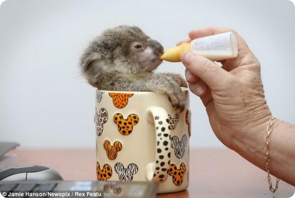 Детёныш коалы по кличке Рэймонд