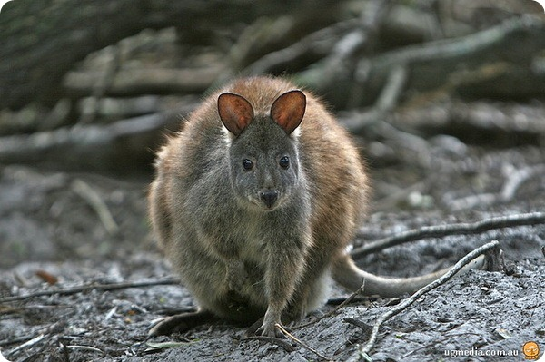 Тасманийский или краснобрюхий филандер (лат. Thylogale billardierii)