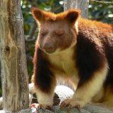 Древесные кенгуру Гудфеллоу
