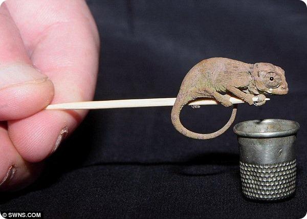 В Англии в Exmoor Zoo родились редкие хамелеоны