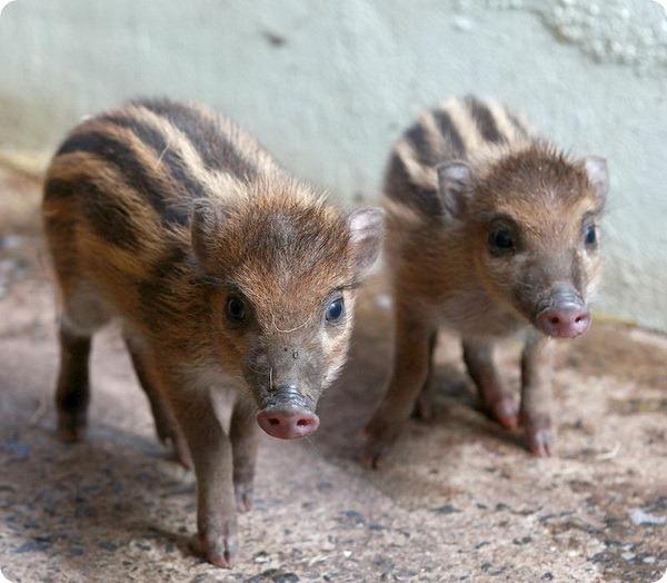 Поросята-близнецы из зоопарка Белфаст