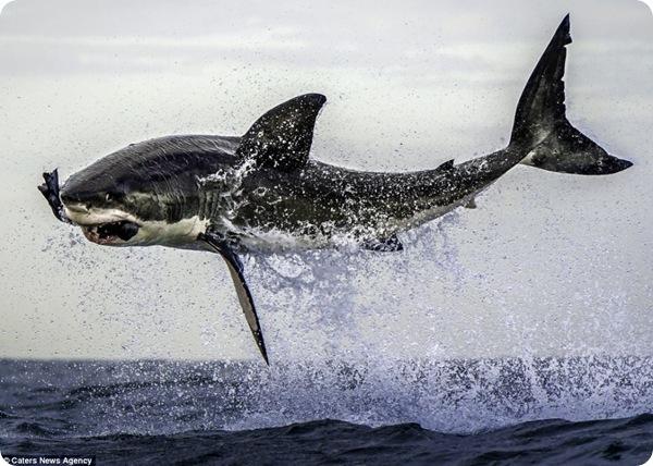 Невероятный прыжок акулы!