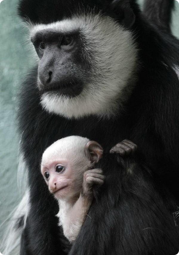Детёныш чёрно-белого колобуса из зоопарка Сент-Луиса