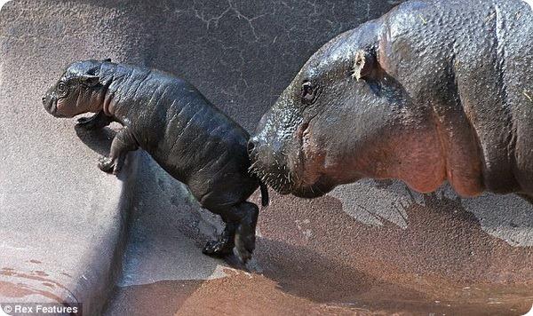 Детёныш карликового бегемота из зоопарка Лоури