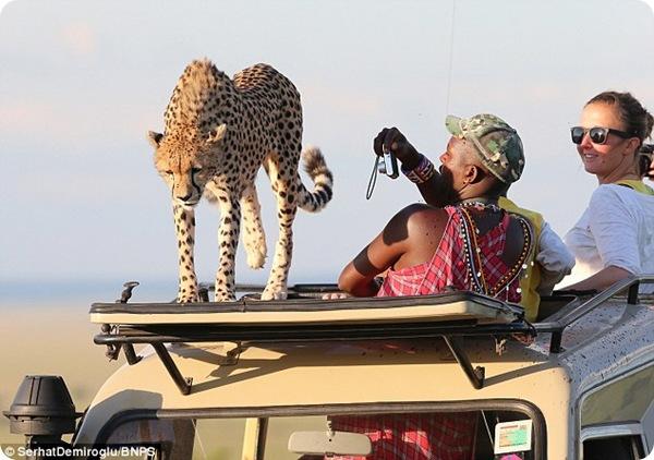 Любопытный гепард из Масаи-Мара