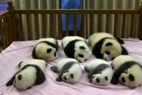 Семь новорожденных панд из Ченду