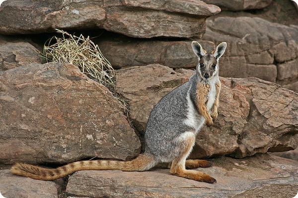 Кольцехвостый кенгуру (лат. Petrogale xanthopus)