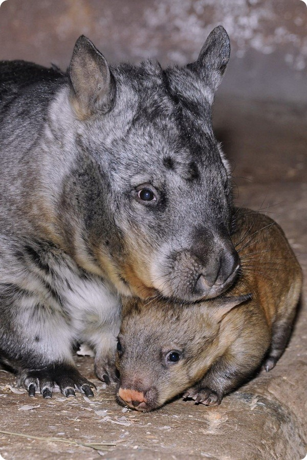 Детёныш вомбата из американского зоопарка Brookfield Zoo