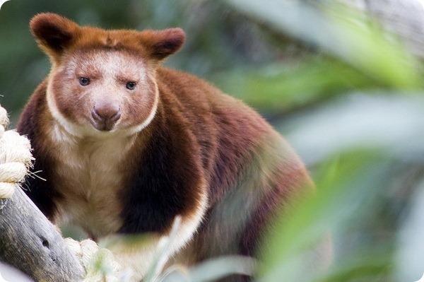 Древесные кенгуру Гудфеллоу (лат. Dendrolagus goodfellowi)