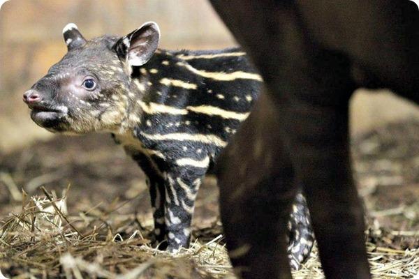 Детёныш малайского тапира из зоопарка Праги