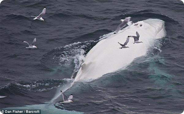 У берегов Норвегии обнаружили белого горбатого кита