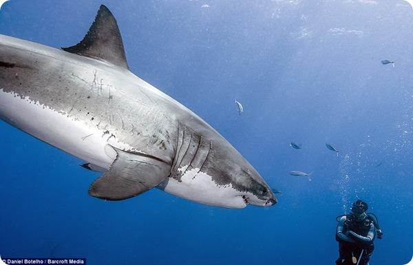 Опасны ли белые акулы?