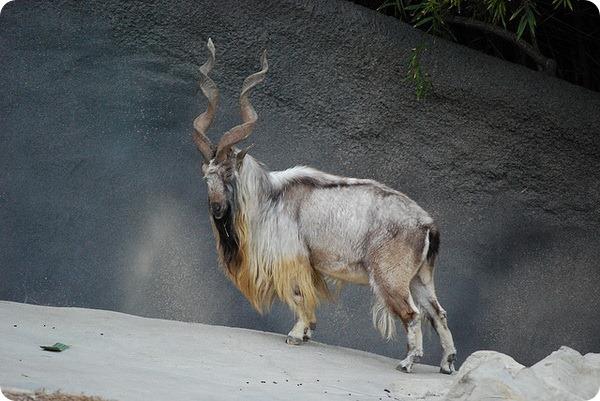 Винторогий козел (лат. Capra falconeri)
