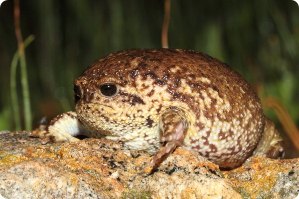 Угрюмая лягушка, или африканский узкорот (лат. Breviceps gibbosus)