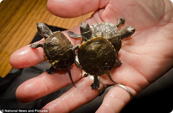 Детёныши мраморной черепахи из орегонского зоопарка