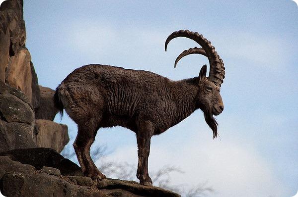Сибирский горный козел (лат. Capra sibirica)