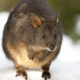 Тасманийский филандер