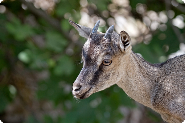 Критский горный козел или Кри-кри (лат. Capra aegagrus creticus)