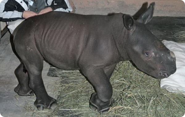 Новый детёныш белого носорога из Нью-Мексико