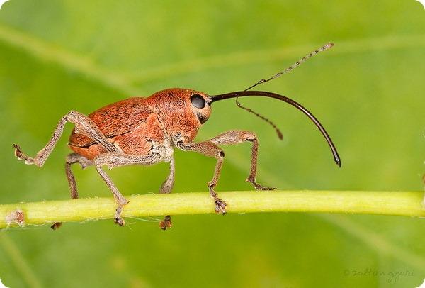 Желудёвый долгоносик (лат. Curculio glandium)