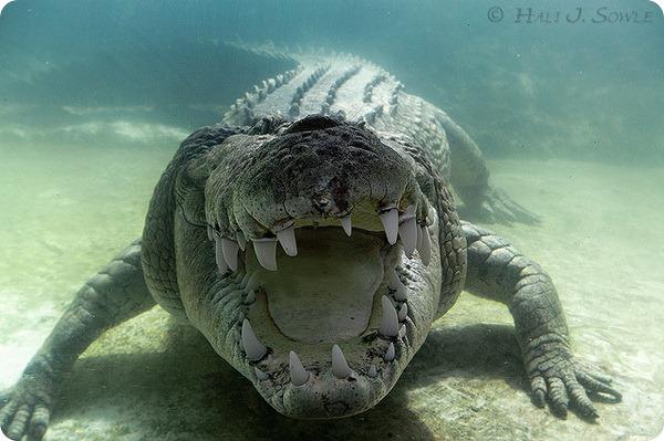 Гребнистый крокодил (лат. Crocodylus porosus)