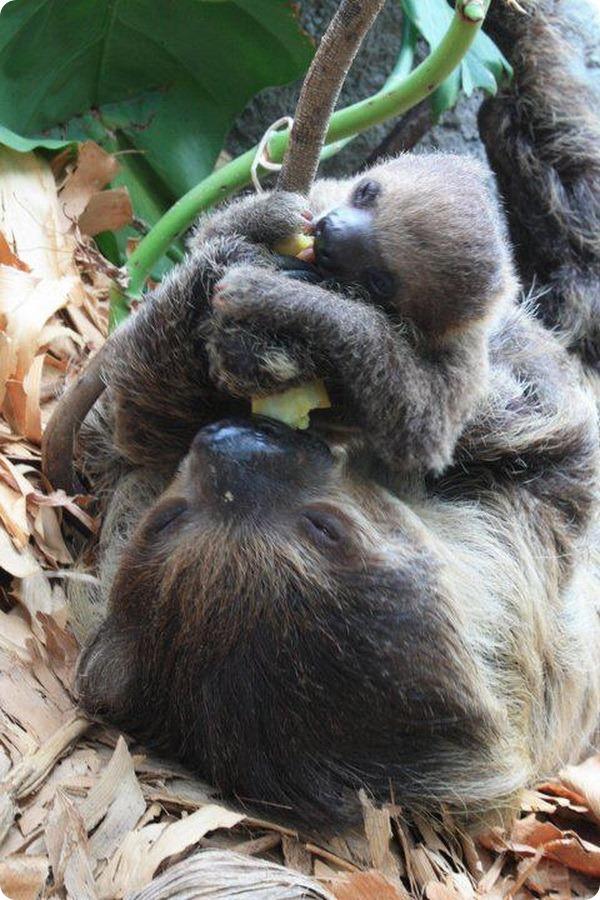 Маленький ленивец из Балтимора