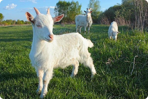 Домашняя коза (лат. Capra aegagrus hircus)