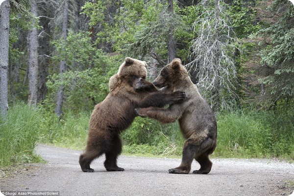 Битва между двумя гризли
