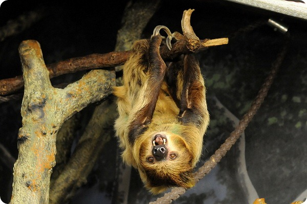 Двупалый ленивец или унау (лат. Choloepus didactylus)