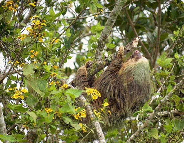 Ленивец Гоффмана (лат. Choloepus hoffmanni)