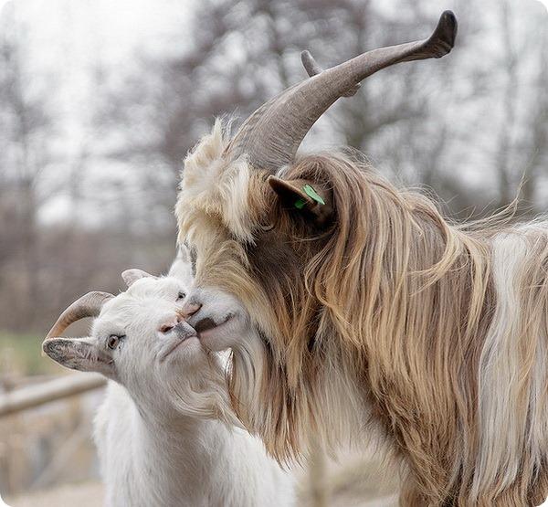 Безоаровый козел (лат. Capra aegagrus)