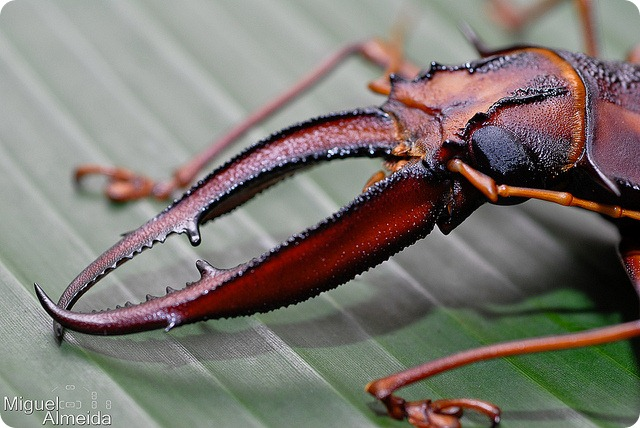 Оленерогий крупнозуб (лат. Macrodontia cervicornis)