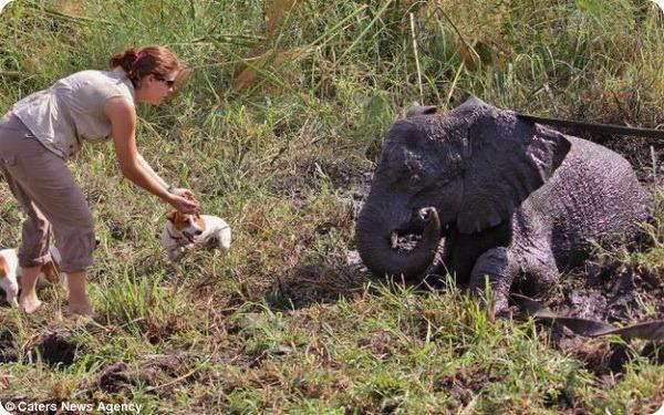 В Зимбабве помогли слонёнку, застрявшему в болоте