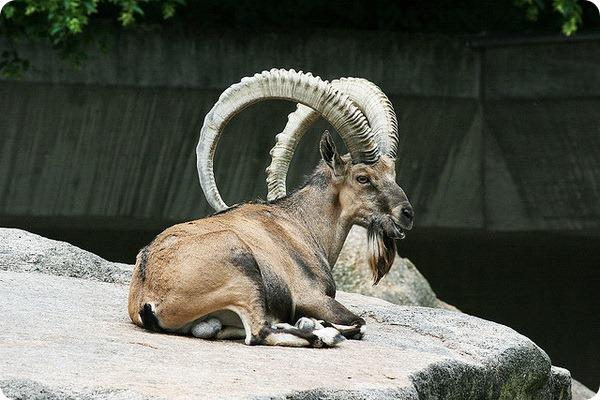 Нубийский горный козел (лат. Capra nubiana)