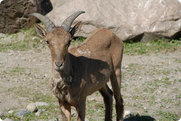 Дагестанский или восточнокавказский тур (лат. Capra cylindricornis)