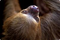 Двупалый ленивец или уна
