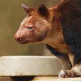 Древесный кенгуру Матши